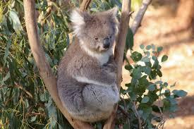 Un koala, animale tipico dell'Australia